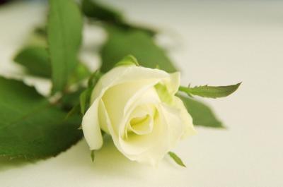 Weiße rose bedeutung beerdigung